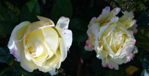 Rosas don jardin