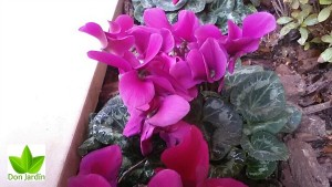 ciclamen empresa de jardineria madrid