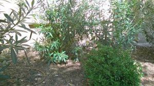 que le pasa a los adelfas mantenimiento de jardines