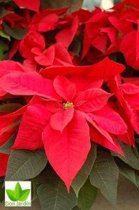 Flor de pascua servicio de jardineria en madrid